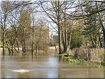 SO8454 : Daffodils in floodwater by Philip Halling