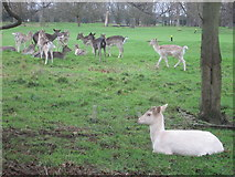TQ1667 : Deer in Hampton Court Park by Peter S