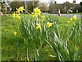 SO8743 : Daffodils in Kinnersley by Philip Halling