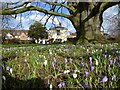 SO8932 : Crocuses below a beech tree by Philip Halling