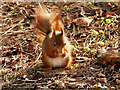SD2708 : Red Squirrel (Sciurus vulgaris) at Formby by David Dixon