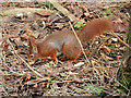 SD2708 : Red Squirrel Foraging at Formby by David Dixon