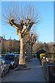 TQ2989 : Pollarded trees, Hornsey by Jim Osley