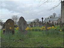 SX7087 : Daffodils in Chagford churchyard by Rod Allday