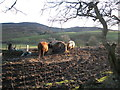 SJ1564 : Highland cattle a long way from home by Maggie Cox