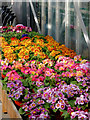 SO8296 : Polyanthus plants at Lealans Garden centre near Seisdon, Staffordshire by Roger  Kidd