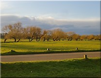 TQ2173 : Pollard willows along the course of Beverley Brook, early March 2016 by Stefan Czapski