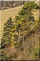 TQ2452 : Scots Pines by Ian Capper
