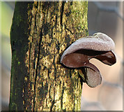 TG1608 : Mushroom growing on dead tree by Evelyn Simak