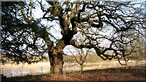 TG1608 : Ancient oak tree beside the River Yare by Evelyn Simak