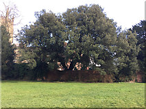 SO8454 : Holm Oak (Quercus ilex) at the end of College Green, Worcester by Robin Stott