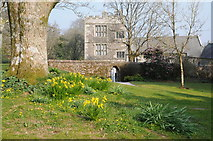 SX4268 : Daffodils at Cotehele by Philip Halling