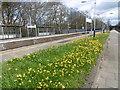 TQ2275 : Daffodils at Barnes station by Marathon