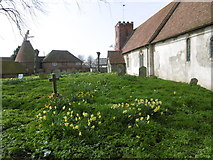 TQ9963 : Daffodils in St Mary's Churchyard, Luddenham by Marathon