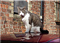 NS5667 : Cat on a car roof by Thomas Nugent