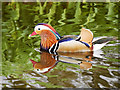 SD4314 : Martin Mere Wetland Centre, Mandarin Duck by David Dixon