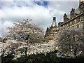 SK3587 : Cherry blossom in the Peace Gardens by Graham Hogg