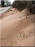 NY4756 : Snowdrops in a roadside sand drift by Rose and Trev Clough
