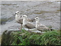 SJ4065 : Three young seagulls by the salmon steps by John S Turner