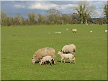 N1820 : Sheep with lambs, Teach Lea by Oliver Dixon