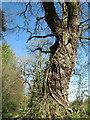 TG0530 : Ivy vines climbing an oak tree by Evelyn Simak