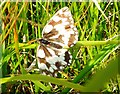 SE8857 : Marbled White Butterfly by Brian Webster