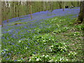 TQ8332 : Primroses and bluebells in Hole Park Gardens by Marathon