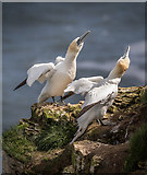 TA1974 : Gannets at Bempton Cliffs, Yorkshire by Christine Matthews
