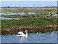 TL3099 : Swan on Moreton's Leam Drain by Mat Fascione