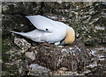 TA1974 : Gannet on Nest, Bempton Cliffs, Yorkshire by Christine Matthews
