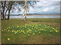 SD4678 : Wild daffodils, Arnside Station by Karl and Ali