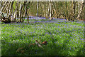 SU9354 : Bluebell woods near Pirbright by Alan Hunt