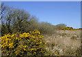 SS2519 : Gorse in bloom on Bursdon Moor, Devon by Roger  Kidd