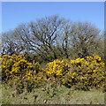 SS2519 : Gorse bushes on Bursdon Moor, Devon by Roger  Kidd
