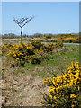 SS2620 : Gorse and grass on Bursdon Moor, Devon by Roger  Kidd