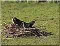 NY2523 : The Moorhen  (Gallinula chloropus) on the nest by Des Colhoun