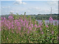 NS3659 : Rosebay willowherb above Castle Semple Loch by Jonathan Thacker