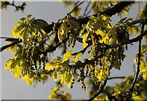 SX9065 : Oak leaves, Barton Road, Torquay by Derek Harper
