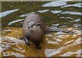 TQ2276 : Asian Otter, Wetlands Centre, Barnes by Christine Matthews