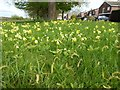 SO8742 : Cowslips at Baughton by Philip Halling