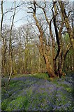 TQ6895 : Spring in Norsey Wood by Glyn Baker