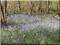 SO9194 : Bluebell Wood by Gordon Griffiths