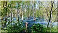 TM0527 : Bluebells at Green Island Gardens by PAUL FARMER