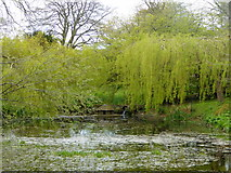 ST6601 : Duck pond, Cerne Abbas by pam fray