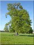 SO8843 : Tree in springtime leaf by Philip Halling