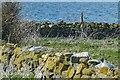 NU2135 : Black-headed gulls on nests, Inner Farne by Robin Drayton