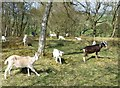 NT9403 : Goats in a wood by Russel Wills