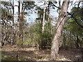 TM4699 : Woodland off Blocka Road by JThomas