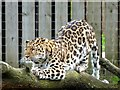 SE6301 : Amur leopard at Yorkshire Wildlife Park by Graham Hogg