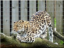 SE6301 : Amur leopard at Yorkshire Wildlife Park by Graham Hogg